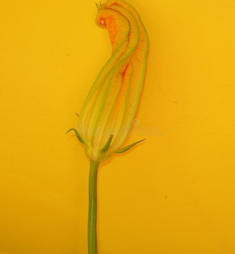 Fleur de courgette image libre de droits