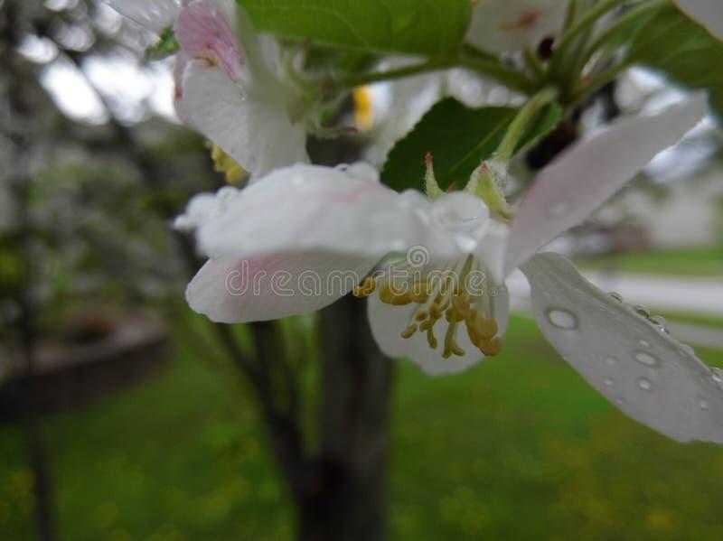 Fleur de Crabapple sous la pluie images stock
