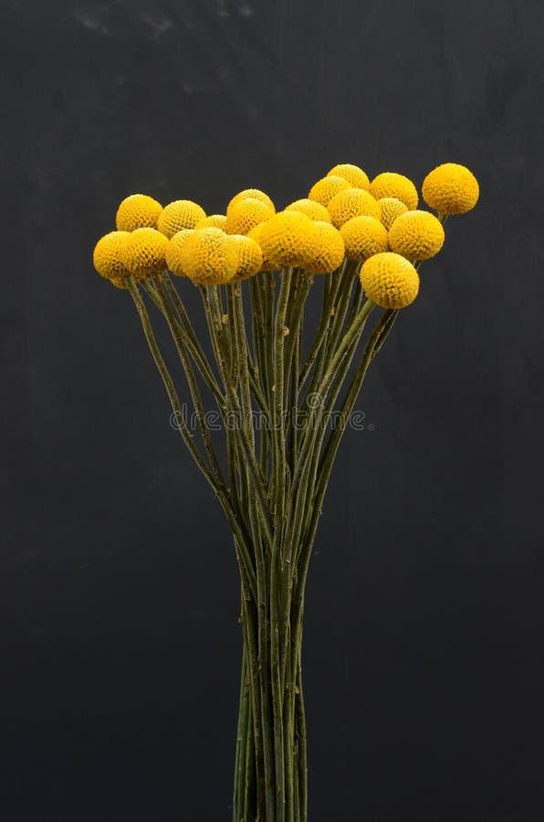 Fleur de craspedia de Yelow pour le fond photos libres de droits
