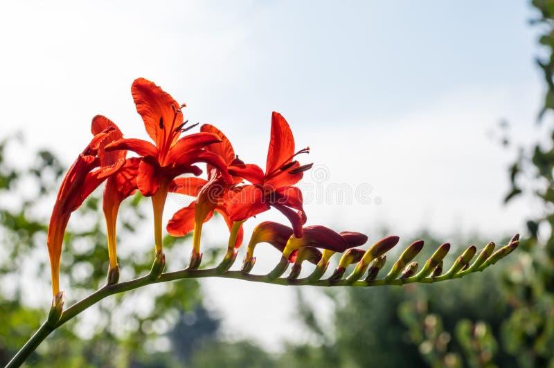 Fleur de Crocosmia en fleur éclairée à contre-jour images libres de droits