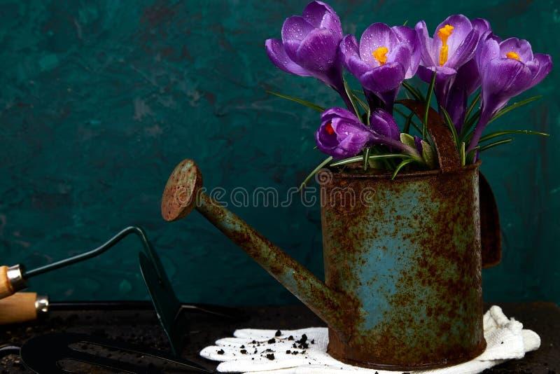 Fleur de crocus dans le pot d'arrosage Ressort, outils de jardinage photo stock