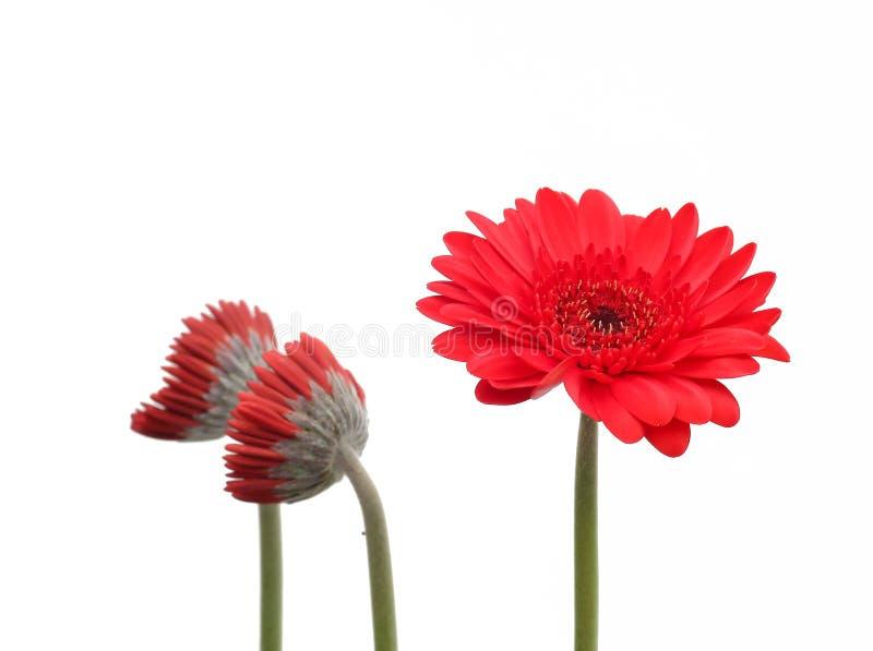 Fleur de Crysanthemum photographie stock libre de droits