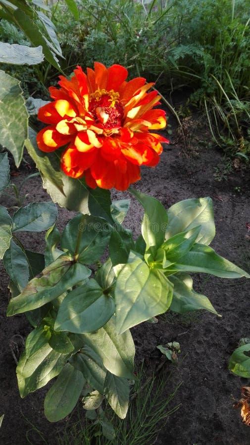 Fleur de cynia photo libre de droits