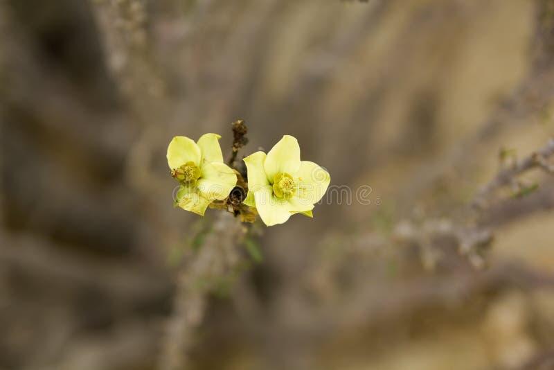 Fleur de désert photo stock