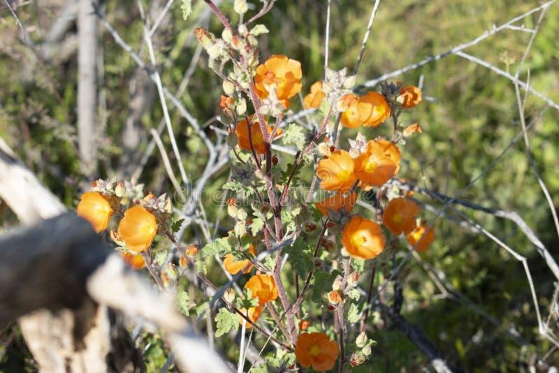 Fleur de désert de l'Arizona photographie stock libre de droits