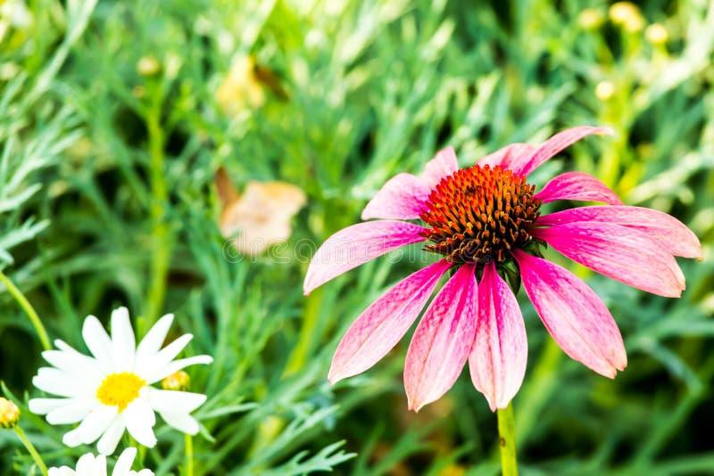 Fleur de Dahli dans le chiangmai Thaïlande de parc de Chalermphrakiet photo libre de droits