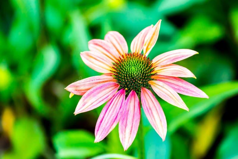 Fleur de Dahli dans le chiangmai Thaïlande de parc de Chalermphrakiet photos stock