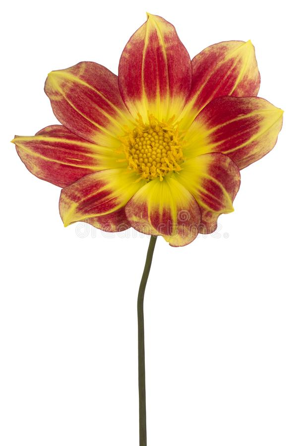 Fleur de dahlia d'isolement photos stock