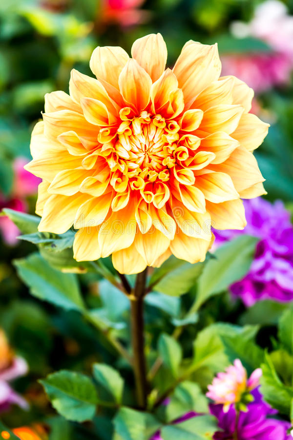 Fleur de dahlia dans la flore royale, province Thaïlande de chiangmai photographie stock libre de droits