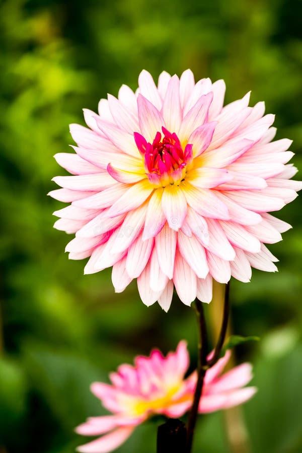 Fleur de dahlia dans la province Thaïlande de chiangmai image stock
