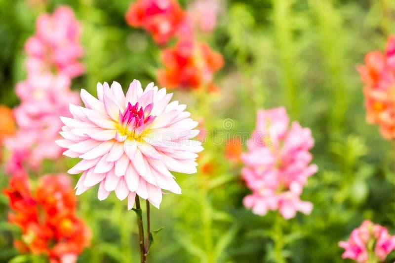 Fleur de dahlia dans la province Thaïlande de chiangmai images stock