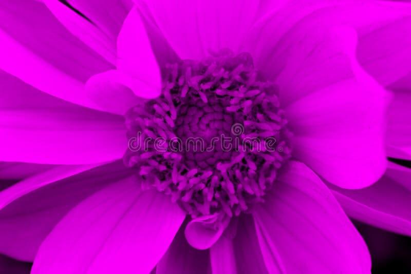 Fleur de dahlia dans une tonalité mauve-clair photos libres de droits