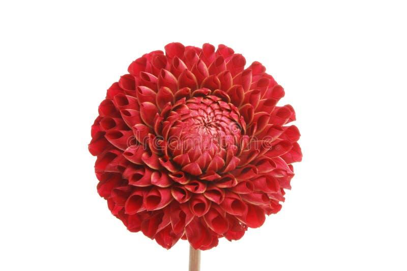Fleur de dahlia de pom de Pom photographie stock