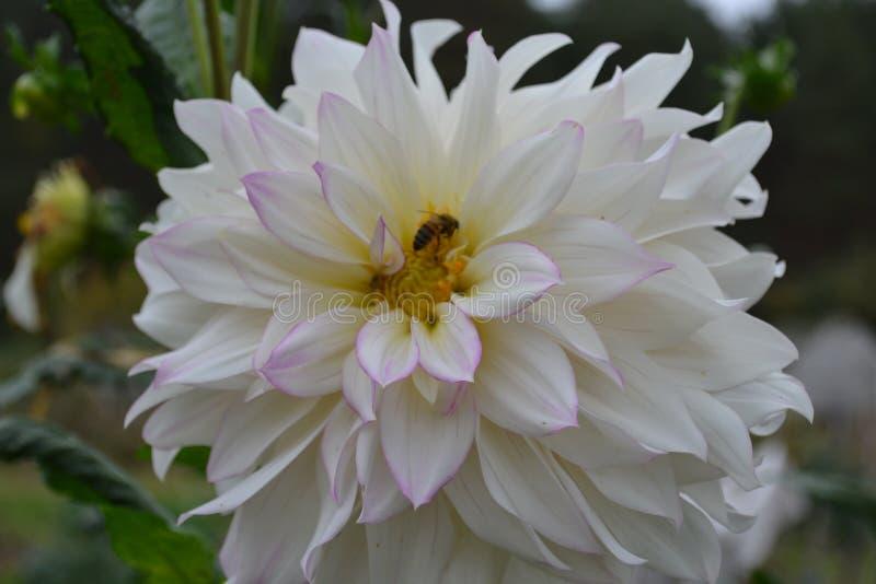 Fleur de dahlia L'abeille se repose sur une fleur image stock