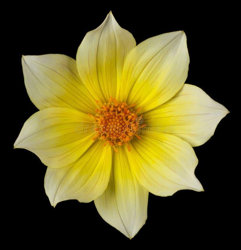 Fleur de dahlia sur le noir image stock