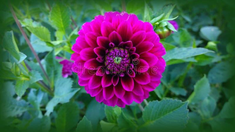 Fleur de dahlia, symétrie parfaite images libres de droits