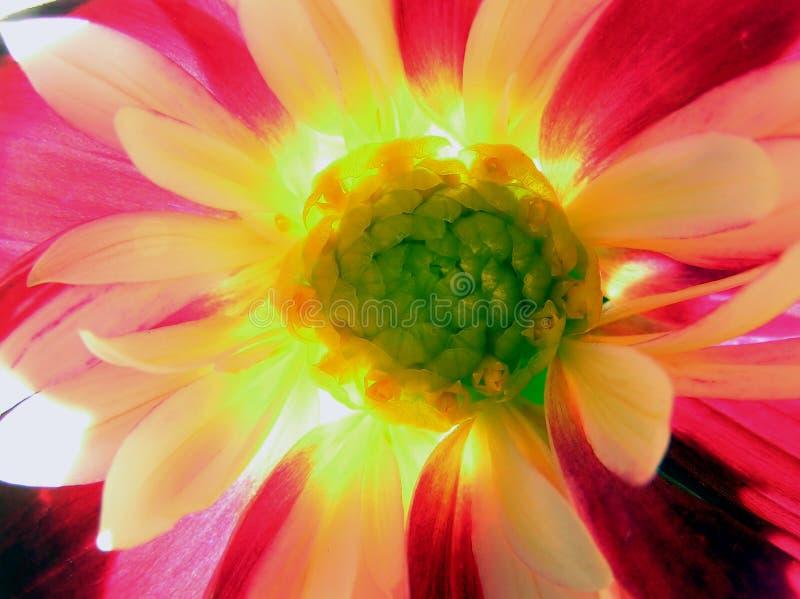 Download Fleur de Dalia photo stock. Image du vert, rouge, sensible - 733272