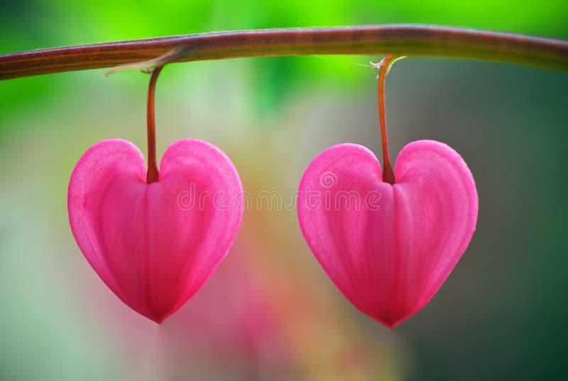Fleur de deux coeurs photographie stock
