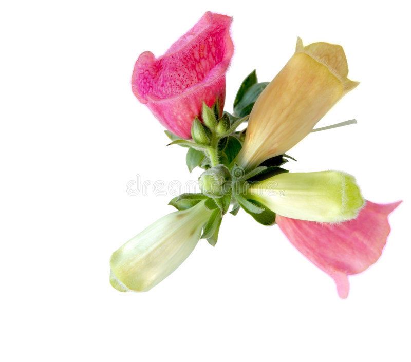 Fleur de digitale images libres de droits