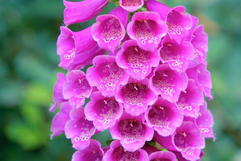 Fleur de digitale (purpurea de digitale) photos libres de droits