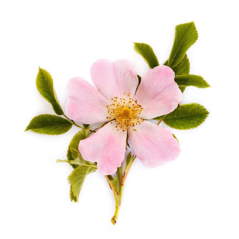 Fleur de Dogrose sur un fond blanc photo stock