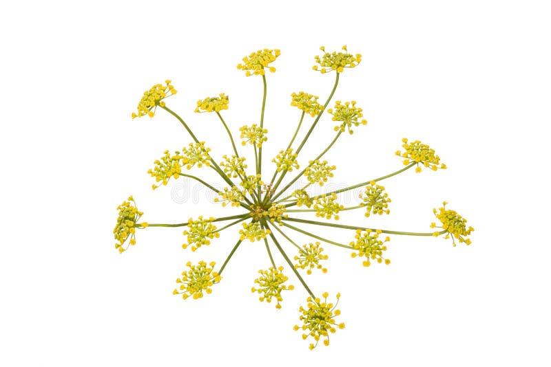 Fleur de fenouil d'isolement sur le fond blanc photographie stock