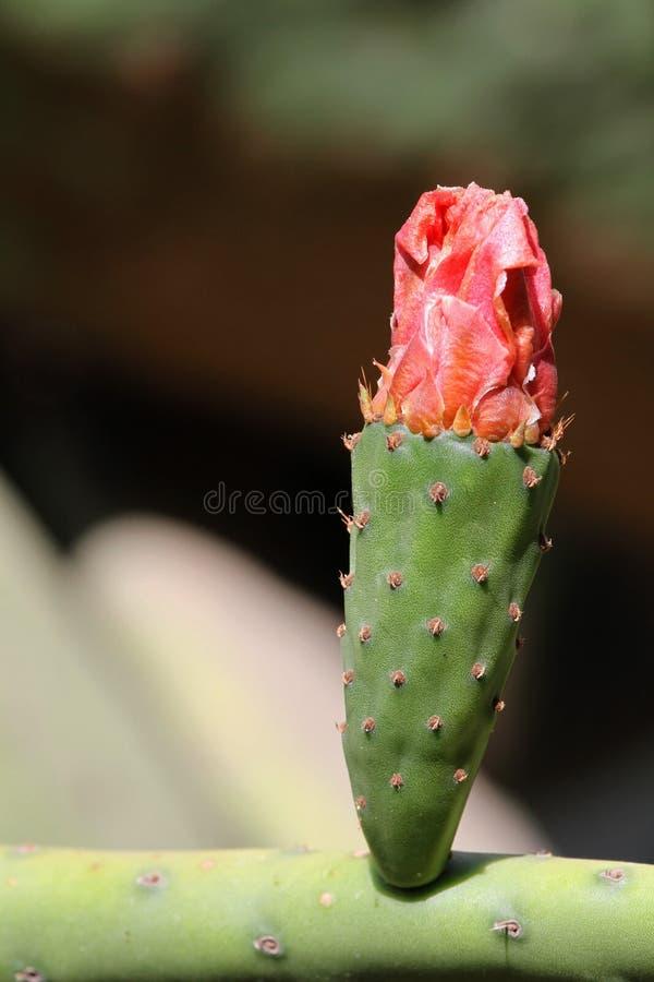 Fleur de figue de Barbarie image stock