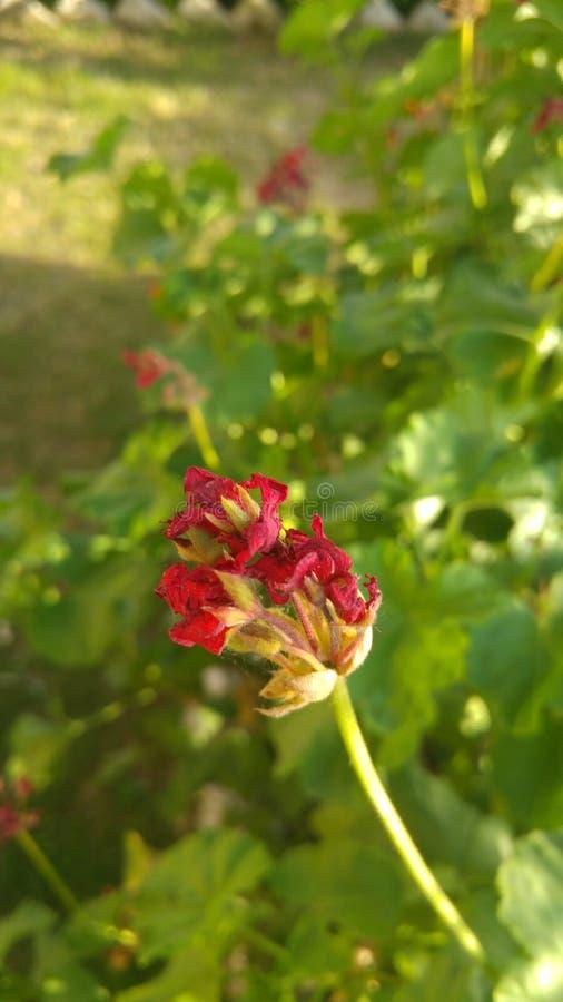Fleur de flétrissement image libre de droits