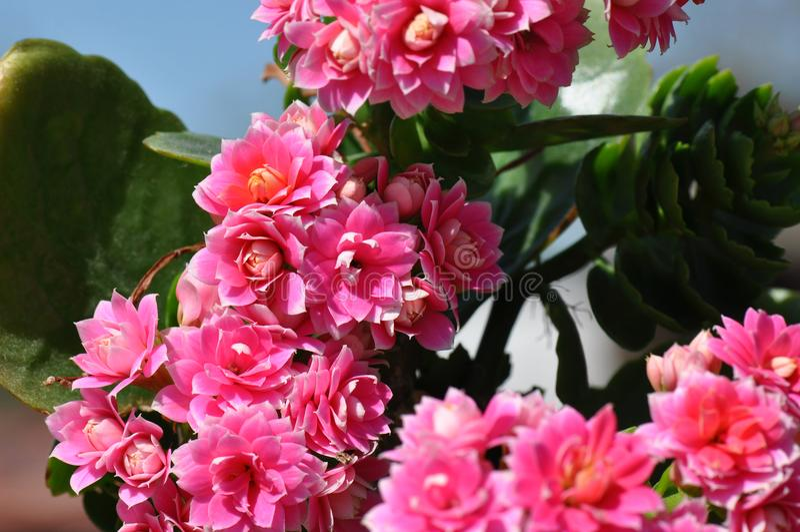 Fleur de flamber Katy photographie stock