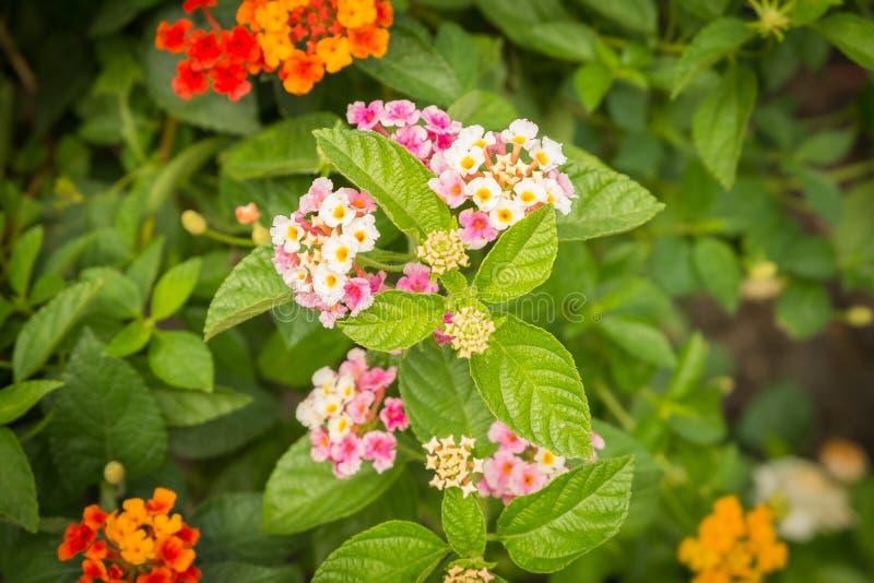 Fleur de fleur de Camara de Lantana dans le jardin images libres de droits