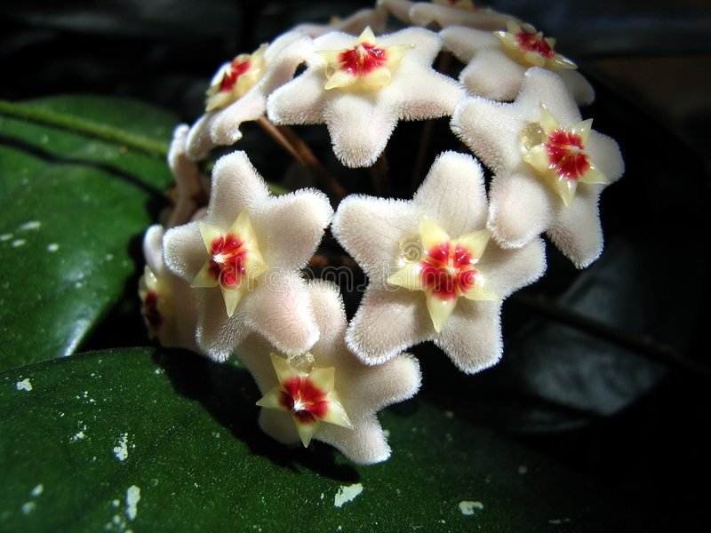 Fleur de fleur de Hoya photographie stock libre de droits
