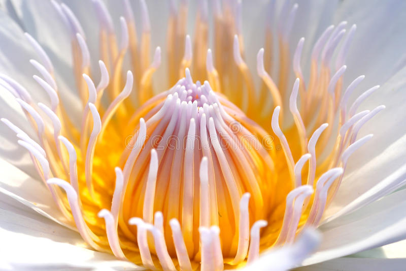 Fleur de fleur de lotus image libre de droits