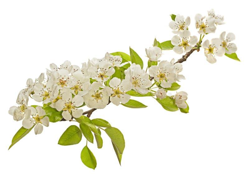 Fleur de fleur de poirier image libre de droits