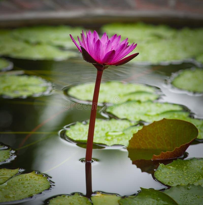 Fleur de fleur de Waterlily. Usine tropicale Lotus photographie stock libre de droits