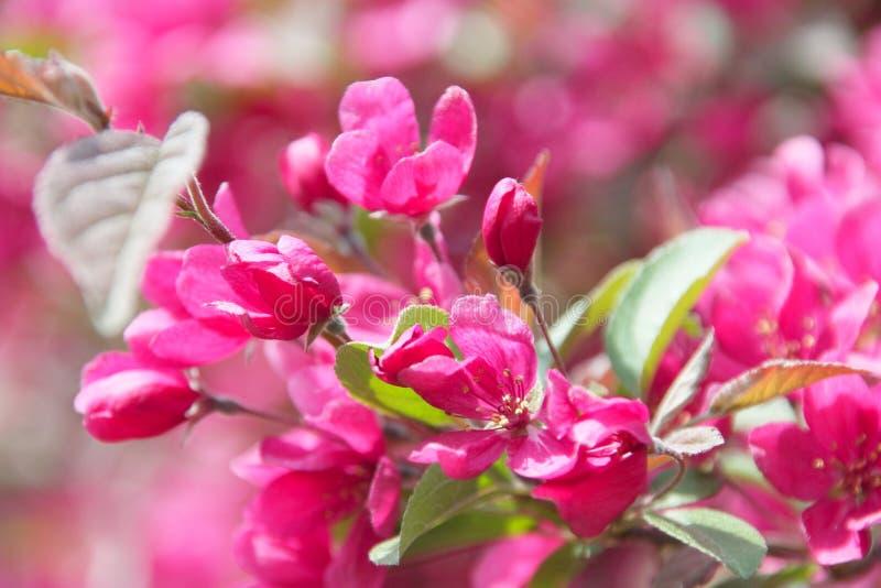 Fleur de fleurs de cerisier - photo courante de ressort photo libre de droits