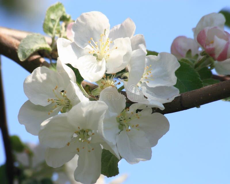 Fleur de fleurs de cerisier - photo courante de ressort photos stock
