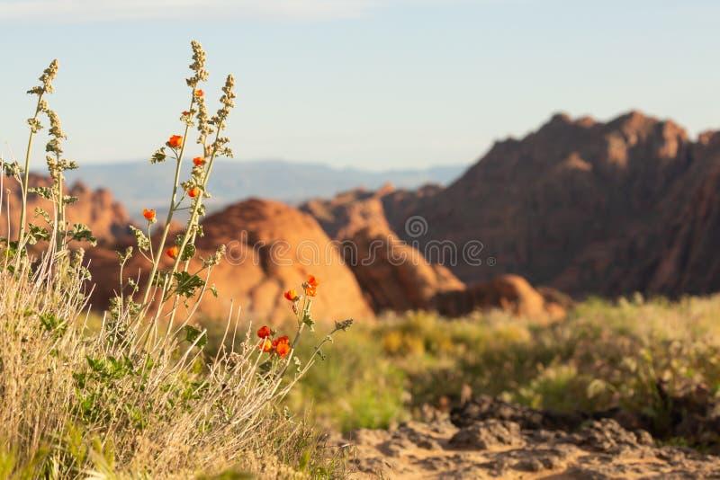 Fleur de fleurs de mauve de globe devant les dunes pétrifiées en parc d'état de canyon de neige en Utah du sud images stock
