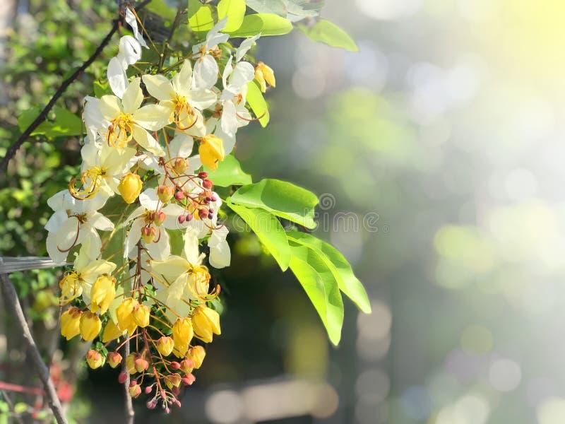 Fleur de fleurs pendant le festival de Songkran Appel Ratchaphruek de personnes thaïlandaises ou koon de Dok Fleurs blanches des  photographie stock
