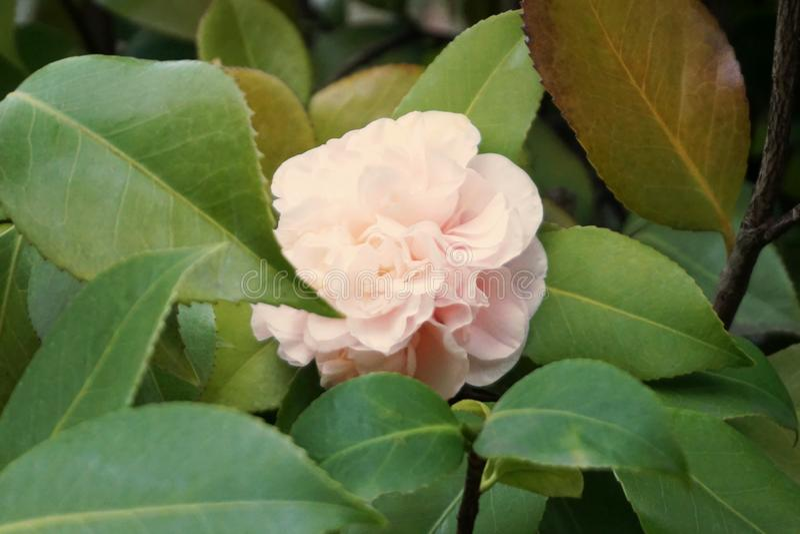 Fleur de floraison de camélia encadrée avec les feuilles vertes photographie stock