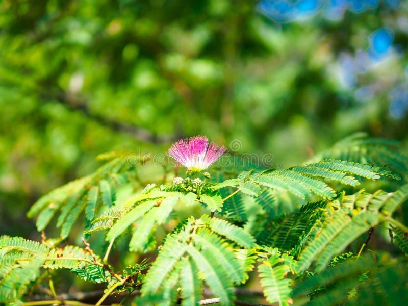 Fleur de floraison d'arbre en soie persan sur la branche images stock