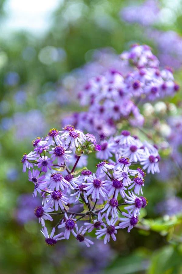 Fleur de floraison d'hiver de webbii de Pericallis image libre de droits
