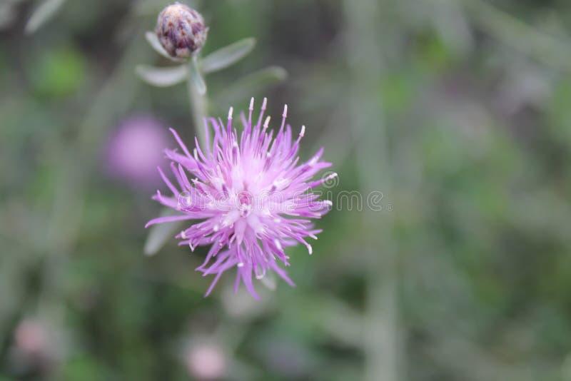 Fleur de floraison de champ photo libre de droits
