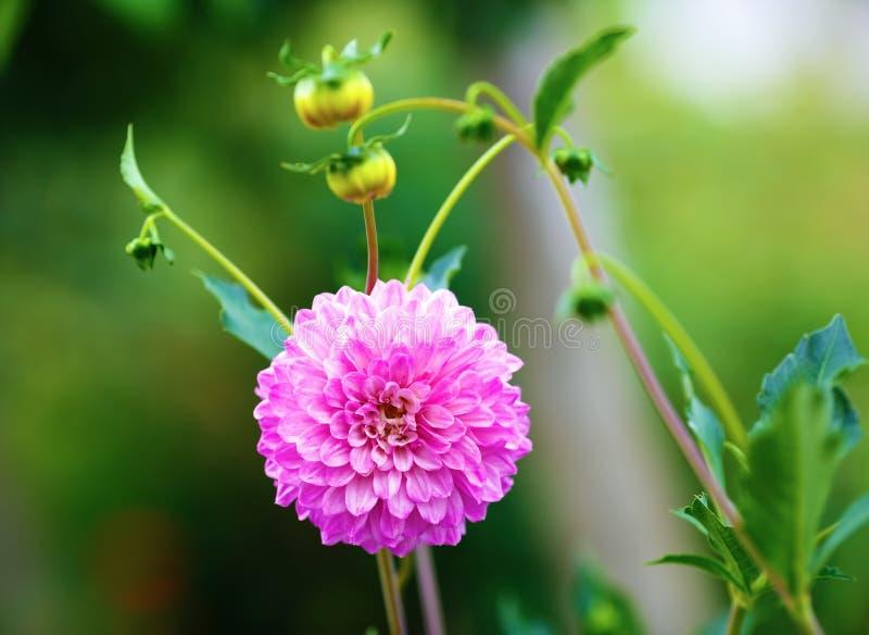 Fleur de floraison de chrysanthemum photo stock