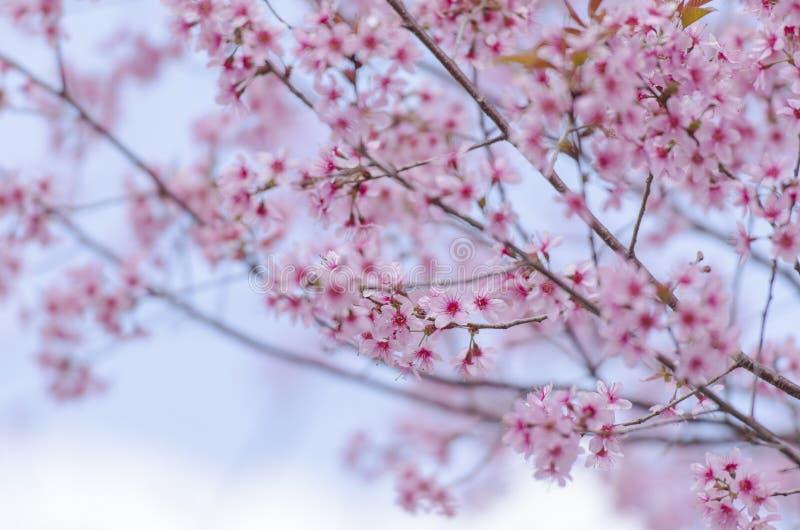 Download Fleur De Floraison De Fleurs De Sakura Dans Phu-Lom-Lo Photo stock - Image du local, flore: 77150858