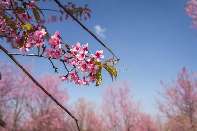 Download Fleur De Floraison De Fleurs De Sakura Dans Phu-Lom-Lo Image stock - Image du jardin, clear: 77151147