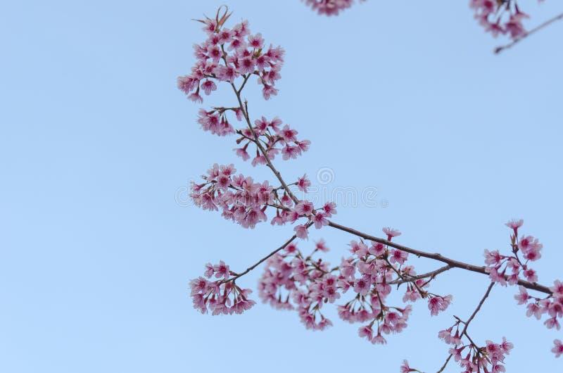 Download Fleur De Floraison De Fleurs De Sakura Dans Phu-Lom-Lo Photo stock - Image du lame, jardin: 77151198