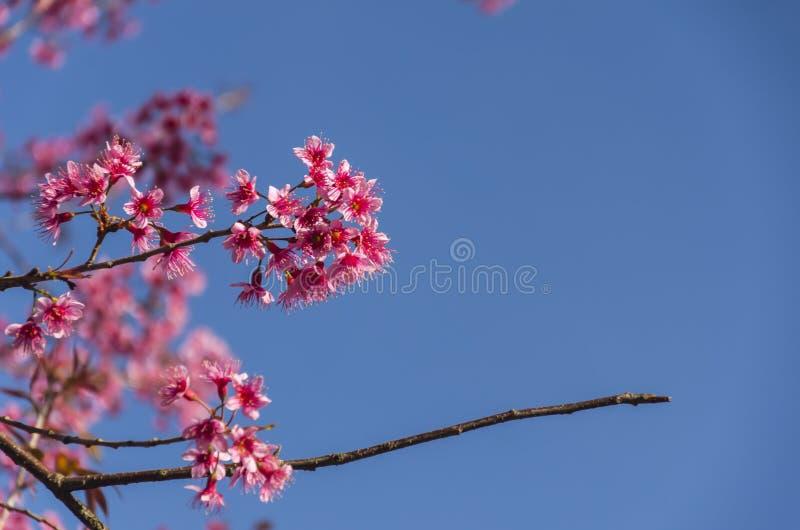 Download Fleur De Floraison De Fleurs De Sakura Dans Phu-Lom-Lo Photo stock - Image du clear, beau: 77151892