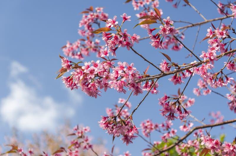 Download Fleur De Floraison De Fleurs De Sakura Dans Phu-Lom-Lo Image stock - Image du north, centrale: 77152317