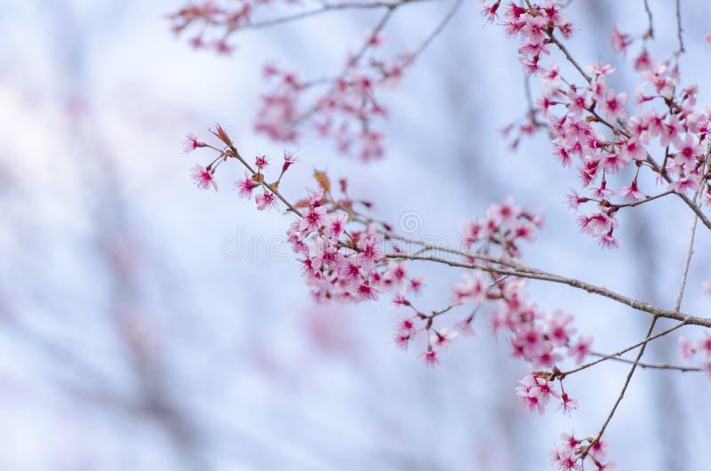 Download Fleur De Floraison De Fleurs De Sakura Dans Phu-Lom-Lo Image stock - Image du fleur, beauté: 77152337