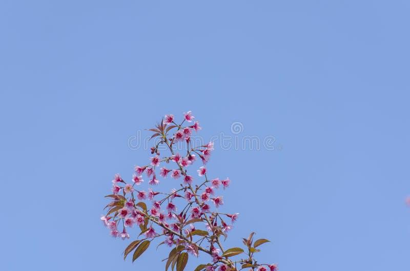 Download Fleur De Floraison De Fleurs De Sakura Dans Phu-Lom-Lo Image stock - Image du affaires, asie: 77152561